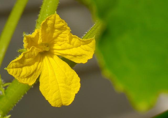 květ okurky