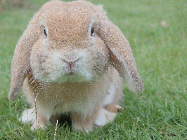 světlý králíček