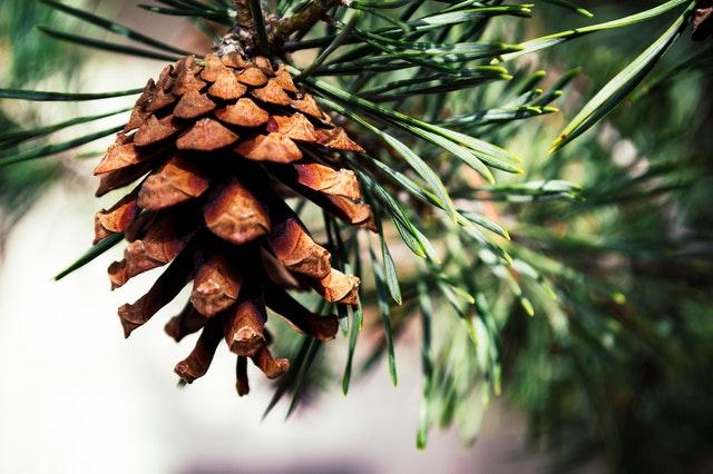 Detail šišky rostoucí na větvi borovice